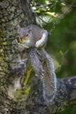 Grey Squirrel Clutches Apple Tree-Lidmaat royalty-vrije stock fotografie