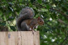 Grey Squirrel commun sur une barrière images libres de droits