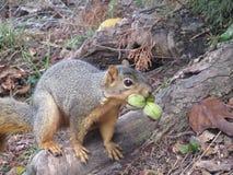 Grey Squirrel con un bocado de pacanas en la base del árbol Fotos de archivo