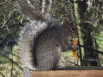 Grey squirrel. A confident squirrel sat eating some pfferings from our table Stock Images