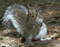 Grey Squirrel Curious. Grey squirrel standing and looking at camera Royalty Free Stock Photos