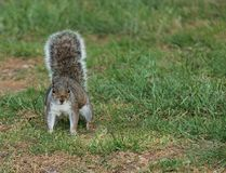 Grey Squirrel. Royalty Free Stock Photos