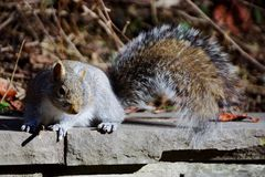 A grey squirrel. A grey cute squirrel in the sun activities Stock Image