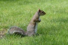 Grey Squirrel, das schauend steht Lizenzfreie Stockfotos