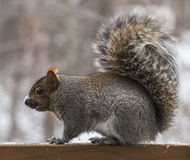 Grey squirrel on deck Stock Images