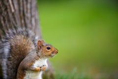 Grey Squirrel del este Fotos de archivo
