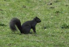 Grey Squirrel del este con melanism Imagen de archivo libre de regalías