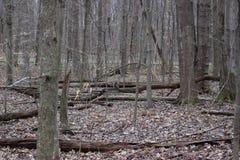 Grey Squirrel del este en madera del invierno Fotografía de archivo libre de regalías