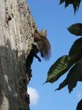 Grey Squirrel di rilassamento in albero con la coda lanuginosa e le gambe akimbo Immagini Stock