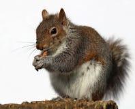Grey Squirrel die pinda's eten Royalty-vrije Stock Fotografie