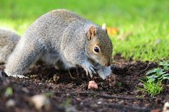 Grey squirrel digging royalty free stock photography