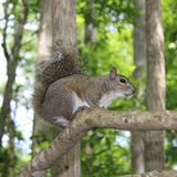 Grey squirrel Royalty Free Stock Photo