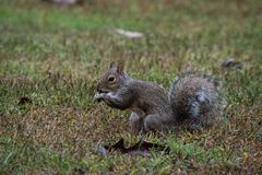 A Grey Squirrel eating an acorn, Marietta, Georgia, USA royalty free stock photography