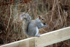 Grey squirrel eating an acorn Royalty Free Stock Photos