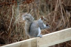Grey squirrel eating an acorn Stock Photography