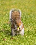 Grey Squirrel eating an acorn, Worcestershire, England. Royalty Free Stock Images
