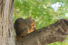 Grey squirrel eating apple on tree stock images