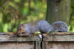 Grey squirrel eating Royalty Free Stock Photography