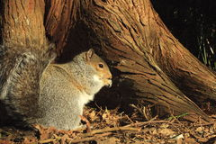 Grey squirrel. Squirrel eating at the base of a tree with red bark Royalty Free Stock Photos