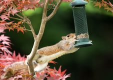 Grey Squirrel eating from a bird feeder. Close-up of a Grey Squirrel eating from a bird feeder on a colorful Japanese Maple tree stock image