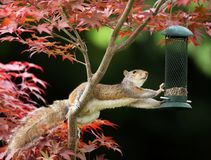 Grey Squirrel eating from a bird feeder on a colorful Japanese M. Close-up of a Grey Squirrel eating from a bird feeder on a colorful Japanese Maple tree stock image