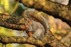 Grey squirrel eating breakfast bar. Royalty Free Stock Photo