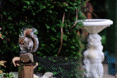 Grey Squirrel eating a chocolate biscuit. Stock Photo