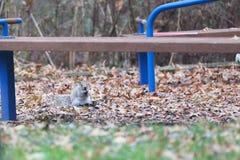 Grey squirrel eating close up royalty free stock photos