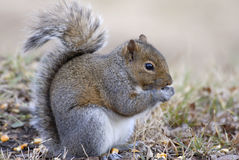 Grey Squirrel Eating Corn Stock Image