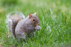 Grey Squirrel Eating. A grey squirrel eats a nut Royalty Free Stock Images