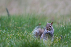 Grey Squirrel Eating 2. A grey squirrel eats a nut Stock Photos