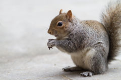 Grey Squirrel Eating 3. A grey squirrel eats a nut Stock Photo