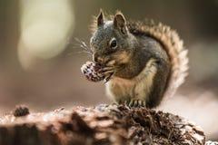 Grey Squirrel Eating ein Kiefern-Kegel Stockfoto