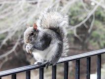 Grey Squirrel Eating eine Nuss, die auf einer Plattform-Schiene balanciert stockfoto