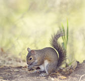 Grey Squirrel Eating Stock Photos