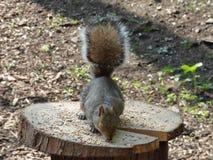 Grey Squirrel Eating Food off Log royalty free stock image