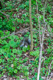 Grey Squirrel Eating in Forest Stock Photo