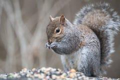 Grey Squirrel Eating stock image