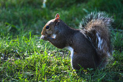 Grey squirrel. Eating on the ground in the grass with sunlit foreground Stock Image