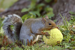 Grey Squirrel Eating Hedgeapple Royalty Free Stock Image