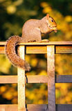 Grey Squirrel eating a nut Stock Image