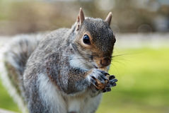 Grey squirrel. Eating a nut Royalty Free Stock Images