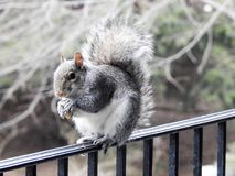 Grey Squirrel Eating a Nut Balancing on a Deck Rail Stock Photo