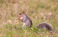 Grey squirrel eating a nut with bushy tail Stock Photos