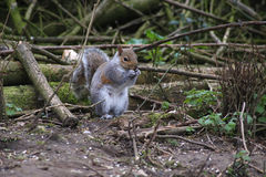 Grey squirrel eating a nut Royalty Free Stock Photo