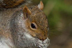 Grey Squirrel Eating a Nut. I photographed this friendly grey squirrel while at a local nature reserve, i watched him for a while coming and taking nuts from the Royalty Free Stock Photos