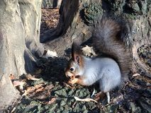 Grey squirrel eating nut near tree side view Stock Images