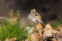 Grey squirrel eating nut Stock Images