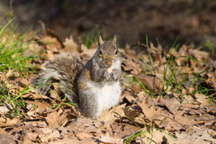 Grey squirrel eating nut Stock Image