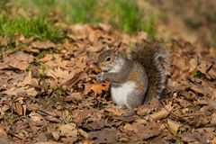 Grey squirrel eating nut Royalty Free Stock Images
